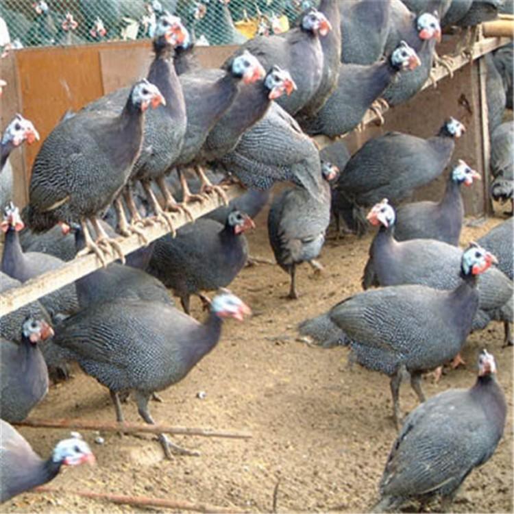 供应珍珠鸡,纯种珍珠鸡苗祥宸养殖场