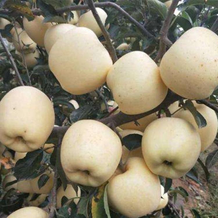 维纳斯黄金苹果树苗 维纳斯黄金苹果苗出售 5公分苹果树苗供应