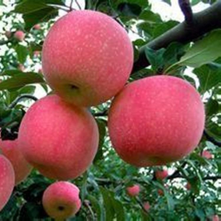 苹果树苗供应商 国光苹果树苗多少钱一棵 国光苹果树苗基地现货出售