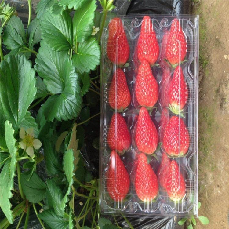 批发全明星草莓苗,丰香草莓苗种植技术,女峰草莓苗种植基地
