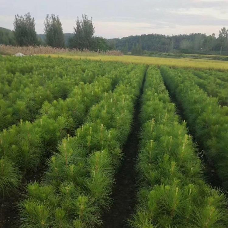 20-200cm优质湿地松苗供应-随州希望苗圃