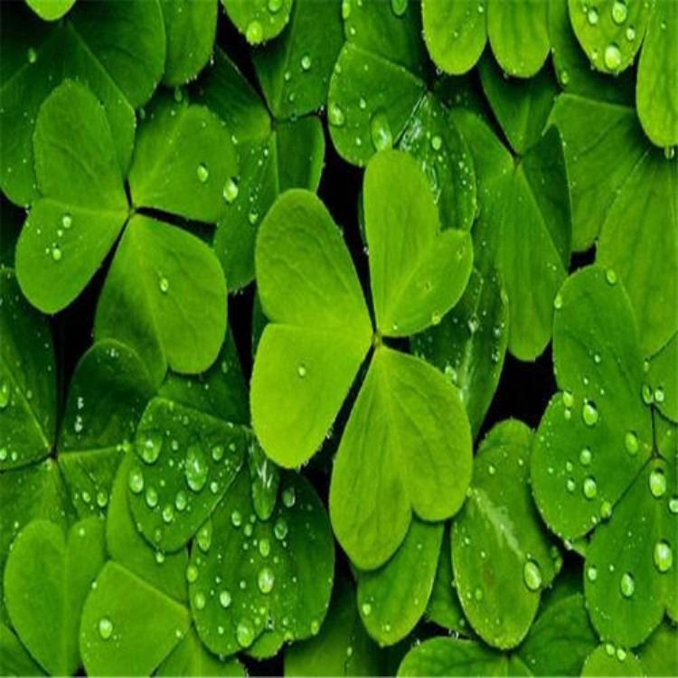 批发白三叶种子   红花三叶草种子价格  三叶草种子多少钱 绿肥种子批发