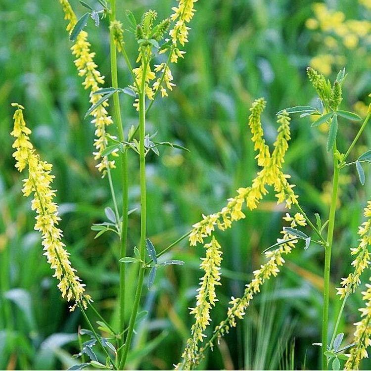 长期供应绿肥种子 绿肥种子价格 景逸种业 绿肥种子多少钱