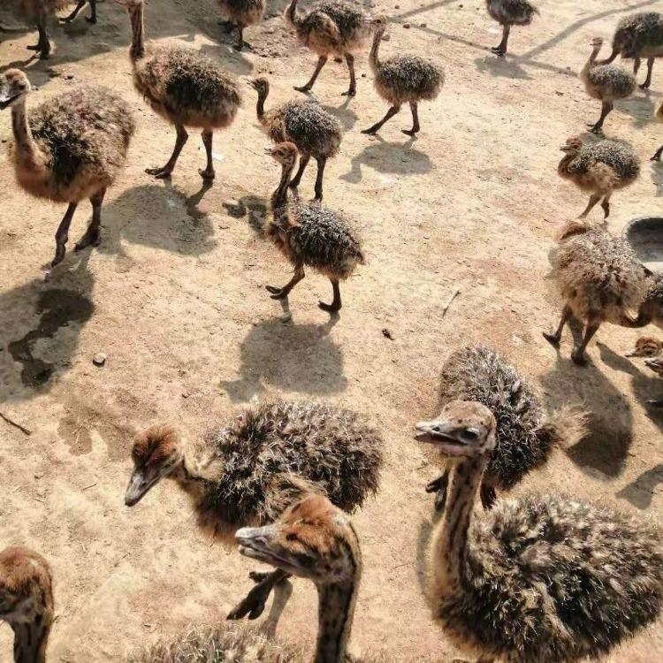 养殖指导鸵鸟苗饲养,鸵鸟苗价格鸵鸟养殖场