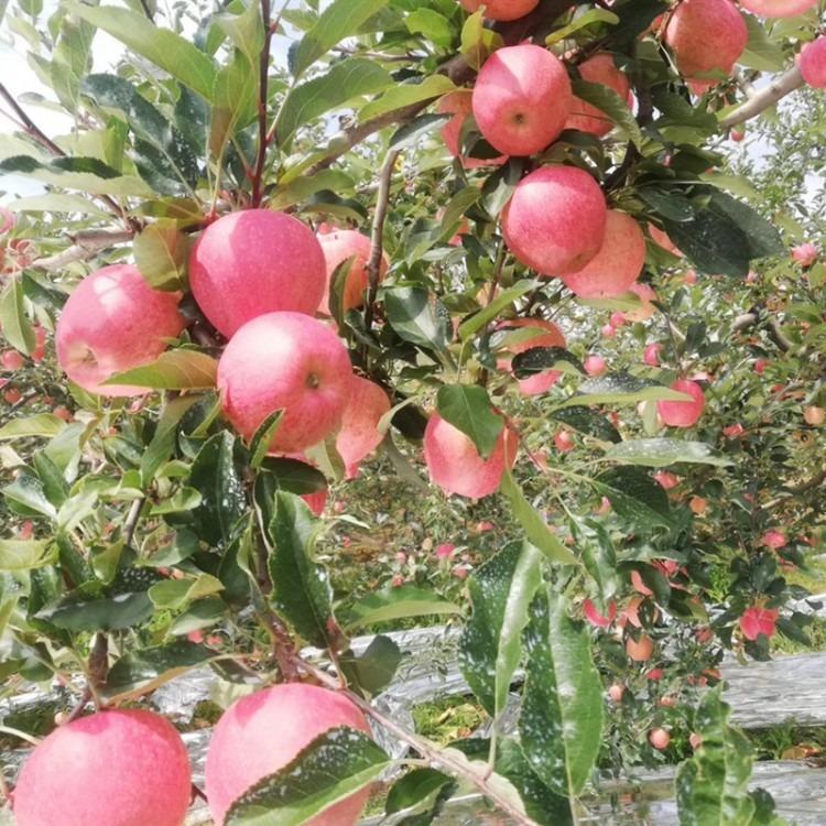 苹果树苗长期供应 5公分富士苹果树苗价格 红富士苹果树苗批发