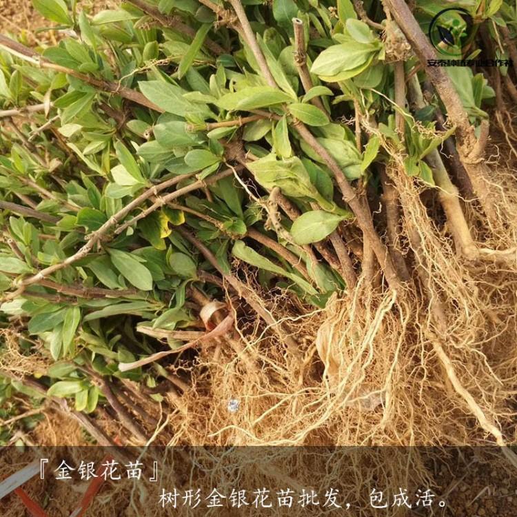 金银花苗的栽培