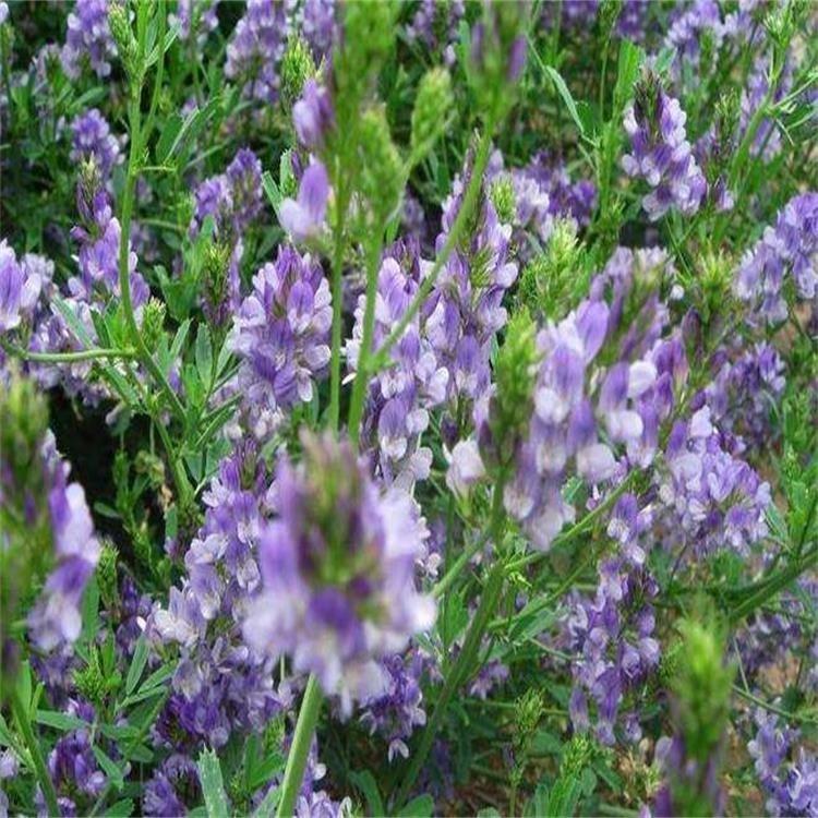 紫花苜蓿种子 猪牛羊兔鸡鸭鹅多年生紫花苜蓿种子四季养殖牧草苜蓿草种 鱼草种籽 景逸种业