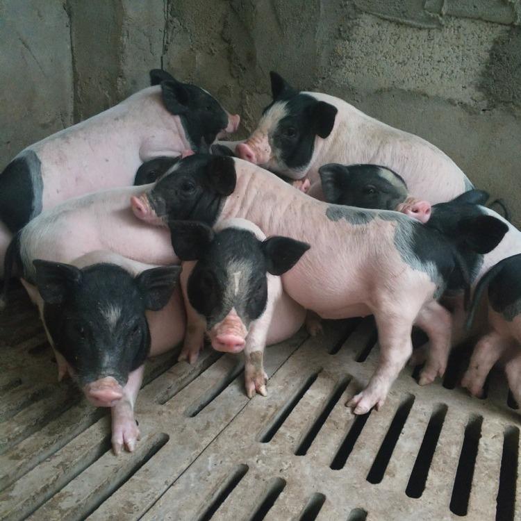 巴马香猪包邮巴马香猪哪里有卖的成年巴马香猪能长多大巴马香猪价格巴马香猪批发