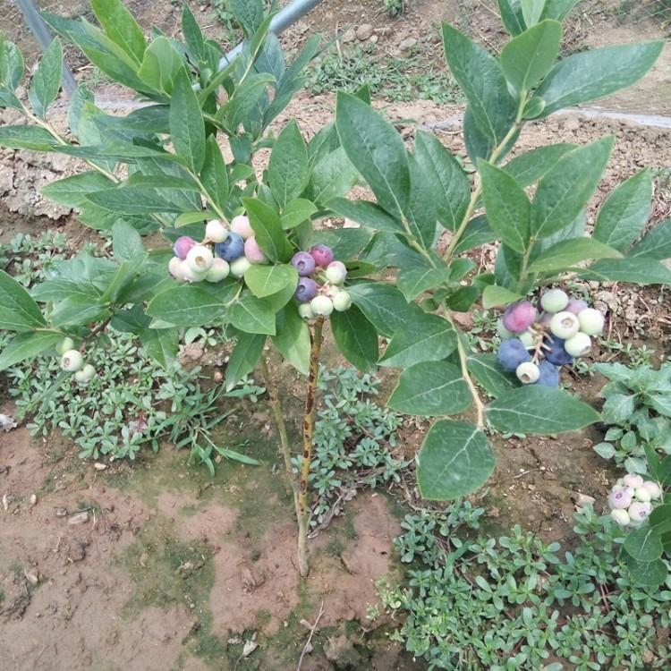 蓝莓苗苗圃 北陆蓝莓苗批发  30公分高北陆蓝莓苗批发价格