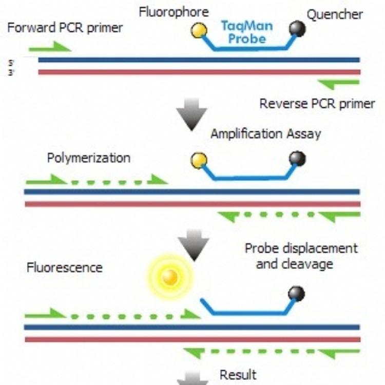 促生长转ScGH基因成分核酸定量试剂盒