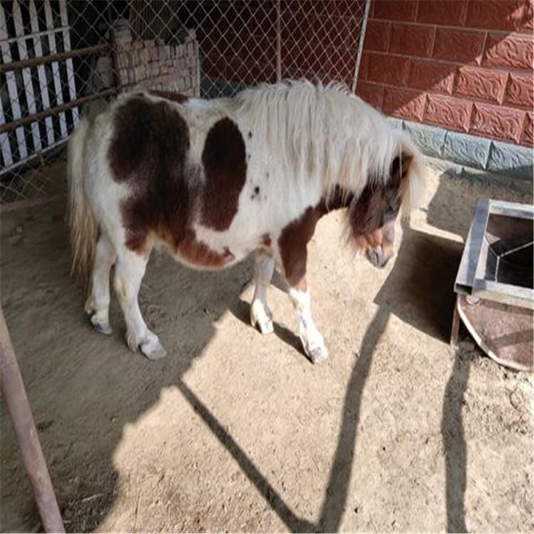 矮马图片,祥宸,苏格兰小矮马价格,矮马养殖场