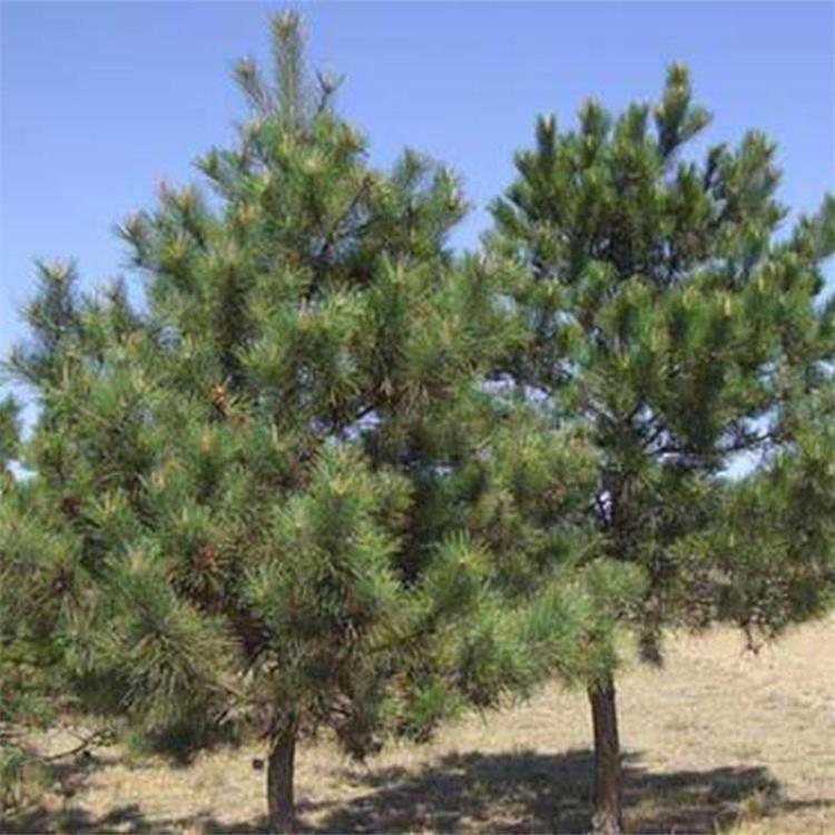 新采优质油松种子 松树种子 油松苗木种子 提供种植技术 棵上门种植 景逸种业