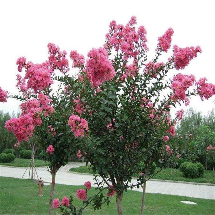 新采美国红花 紫薇种子 红火箭 红火球 红叶紫薇 百日红种子 景逸种业 紫薇种子价格