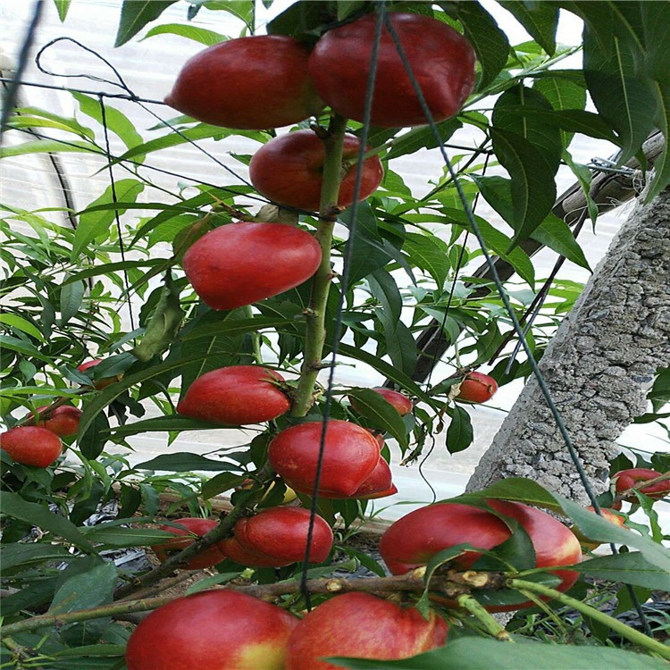 仓方早生桃树苗种植前需要那些准备工作-早美 桃树苗基地