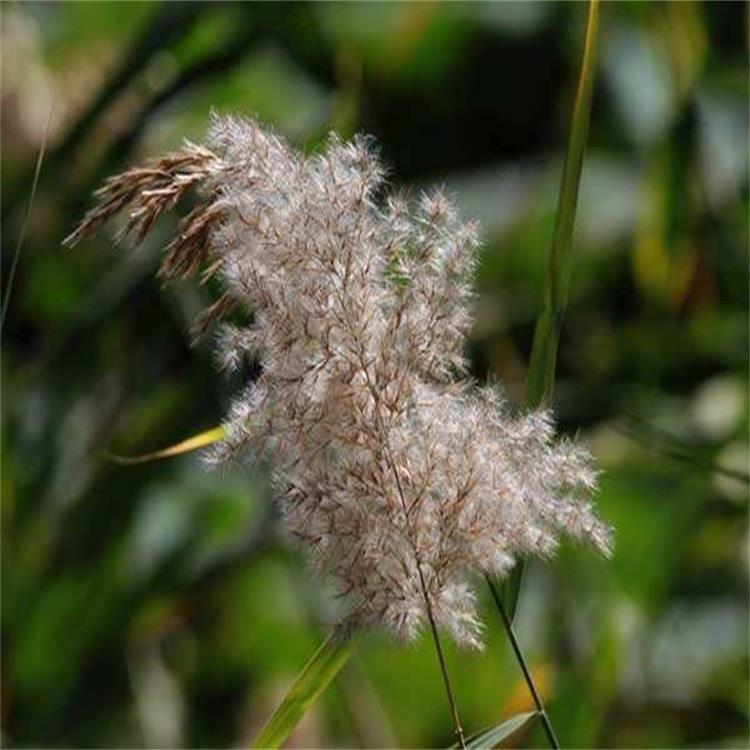 芦苇种子多少钱 优质水生花卉种子 芦苇种子价格 景逸种业  质量保证发芽率高 量大优惠
