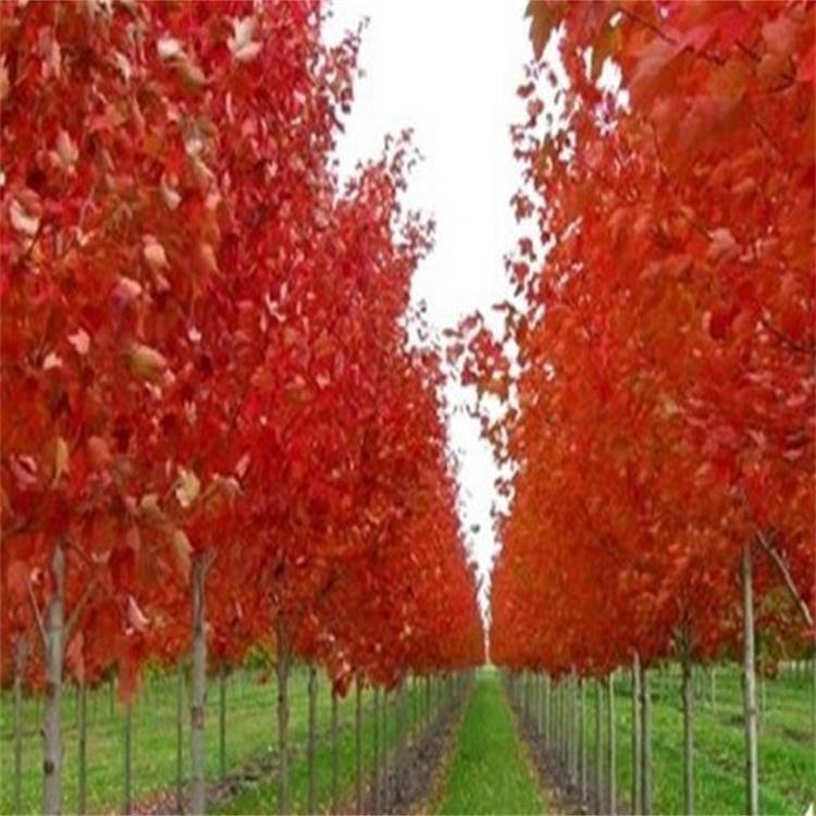 红枫种子价格 美国红枫种子多少钱 美国红枫苗子批发 颗粒饱满 质量保证 出芽率好 景逸种业