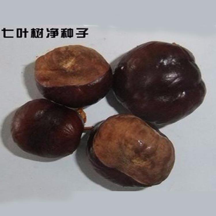 新采七叶树种子 梭椤树 梭椤子 天师栗 开心果种子包发芽七叶树种