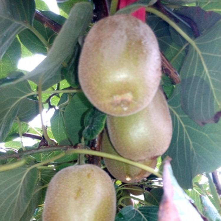 猕猴桃苗苗圃基地 猕猴桃多少钱一棵 猕猴桃苗一亩地种植多少棵