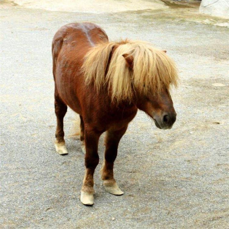 量大价低 汉宫矮马 汉宫矮马的价格 大型养马基地