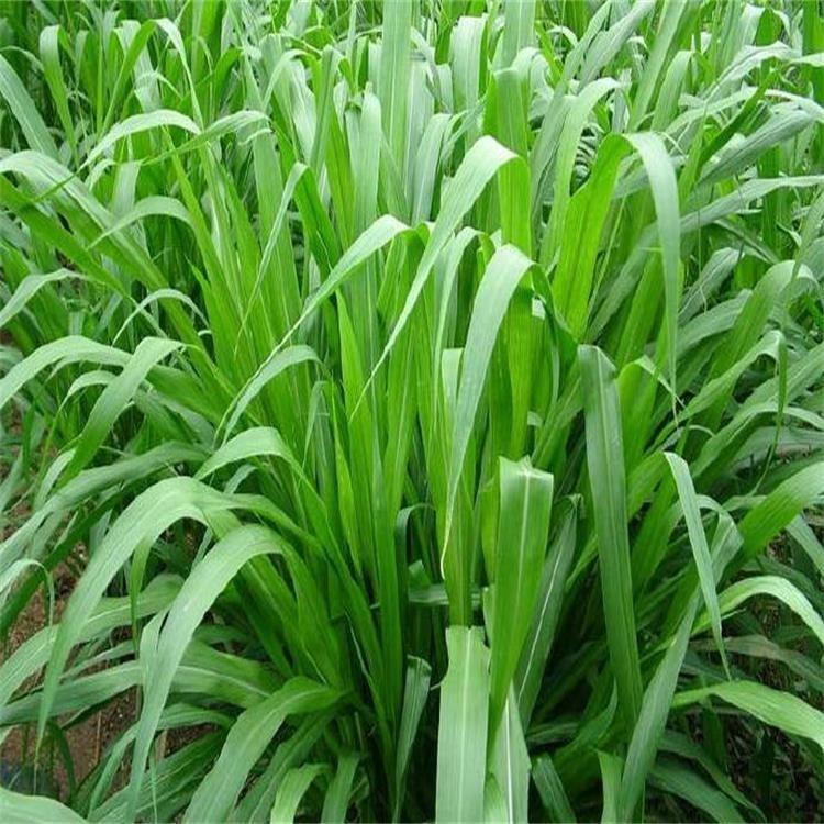 牧草种子 景逸种业 销售各种牧草种子 牧草种籽多少钱 牧草种子价格