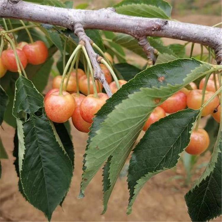 怎么购买怎么选吉塞拉樱桃苗种植方法大量供应