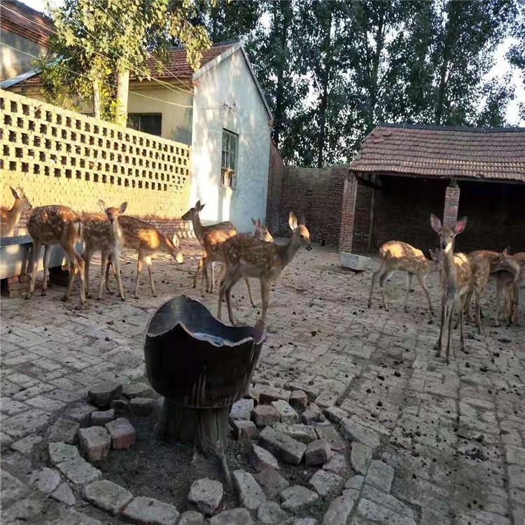 长期供应 成年种公鹿 梅花鹿价格 成年梅花鹿养殖