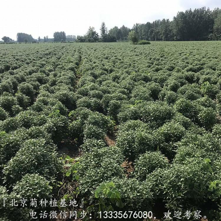 北京菊苗亩产量多少