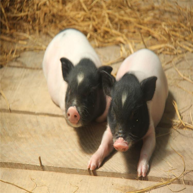 厂家批发巴马香猪巴马香猪价格巴马香猪养殖场