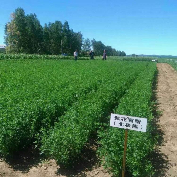 北极熊抗寒紫花苜蓿抗旱叶量多高产发芽率高高蛋白北方型紫花苜蓿种子销售