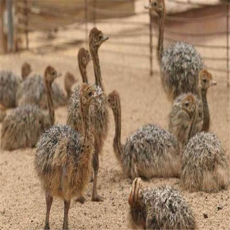 利润成本分析 非洲鸵鸟苗 鸵鸟苗批发 鸵鸟养殖场