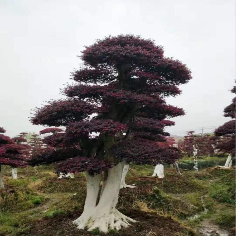 红花继木 优质造型红花继木桩盆景 18公分造型红花继木桩 红成苗木