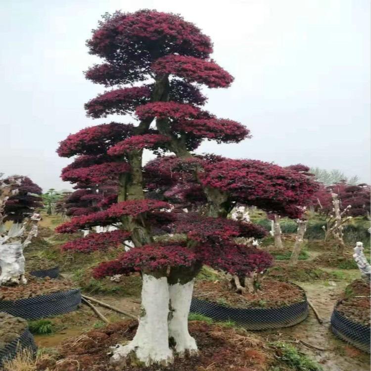 优质造型红花继木 大面积红花继木产地直销 红花继木种苗 同德堂苗木
