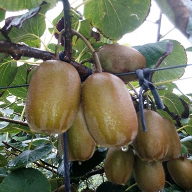 南方种植猕猴桃苗 徐香猕猴桃苗产地直销 徐香猕猴桃苗报价