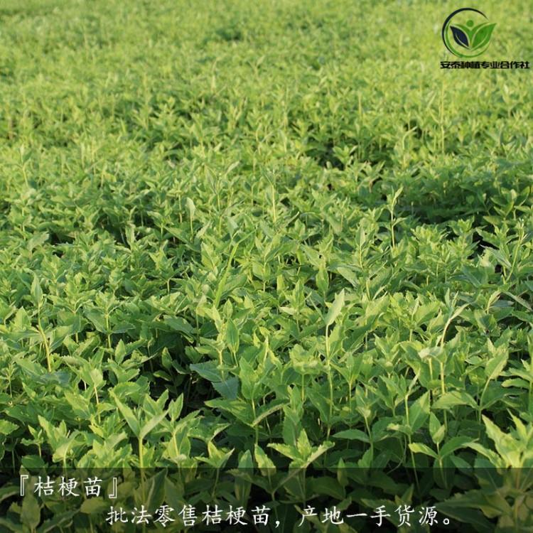 桔梗苗图片  蛇床子种子价格