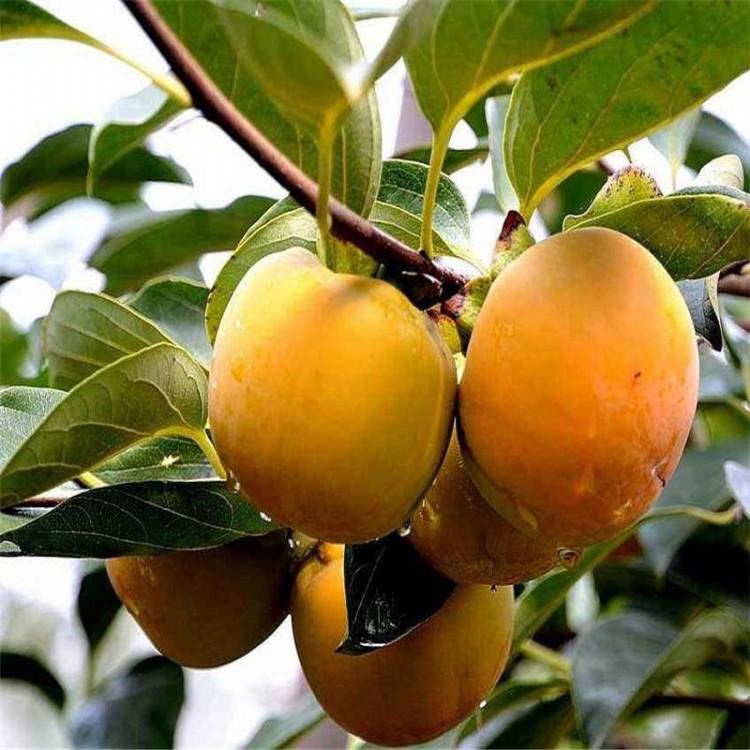 品种纯正优质富有柿子苗怎么买富有柿子苗