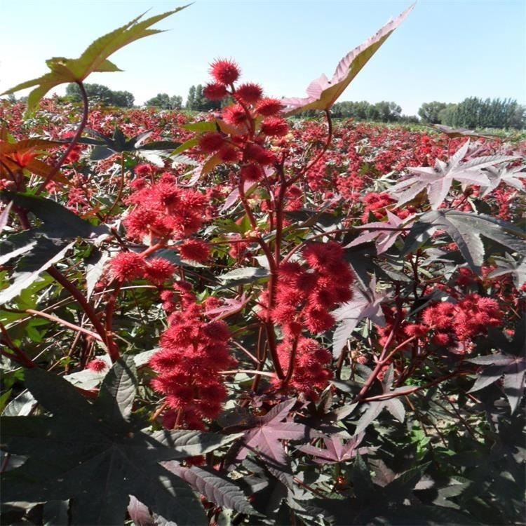 优质蓖麻种子 销售优质红色蓖麻种子 景逸种业 灌木种子齐全 蓖麻种子批发