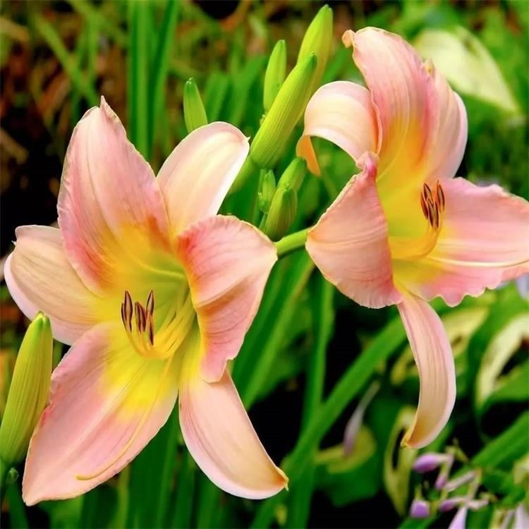 百合种球价格 景逸种业 花卉种子齐全
