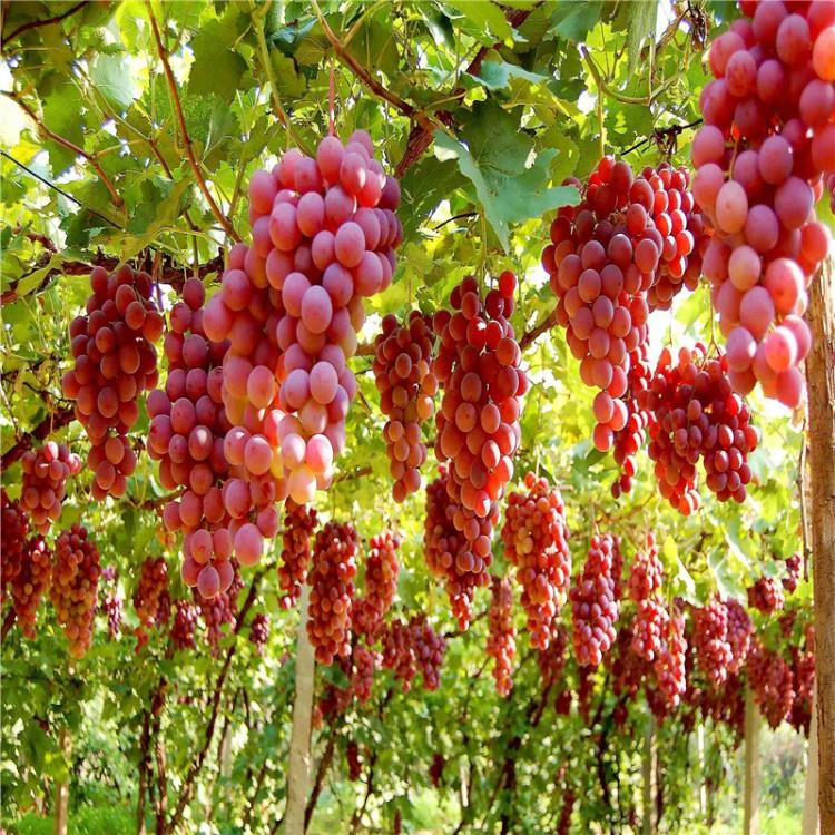 优质品种厂家直供红香蕉葡萄苗种植方法红香蕉葡萄苗
