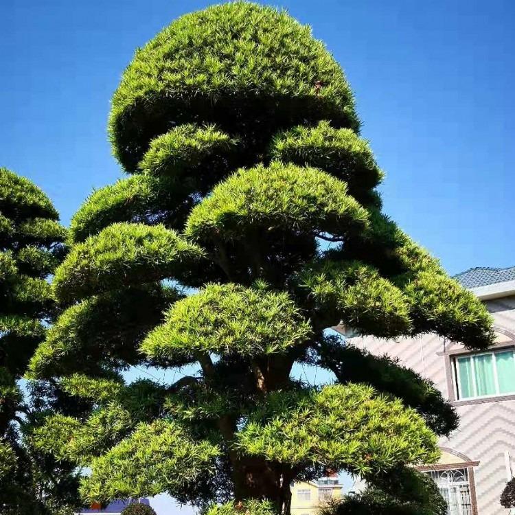 湖南罗汉松树 基地种植大型精品日本罗汉松