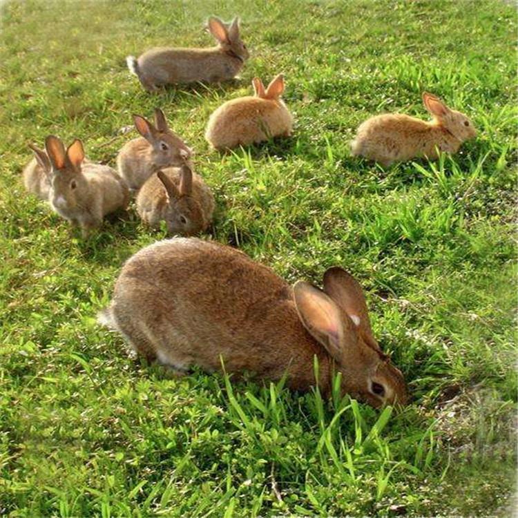 包教养殖兔苗 比利时兔价格 比利时兔养殖