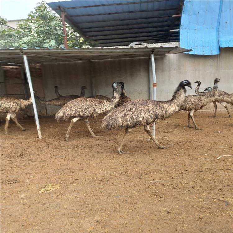 优质品种纯种澳洲鸵鸟鸵鸟苗批发鸵鸟养殖场