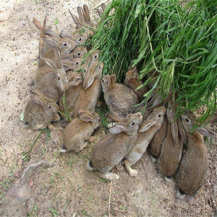 比利时杂交野兔  隆旺 比利时兔养殖行情 比利时肉兔行情