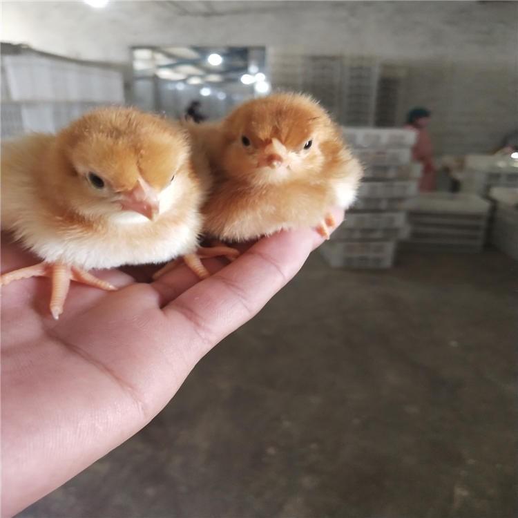 红玉鸡种蛋 出售芦花笨鸡苗 隆航养殖 散养绿色红玉鸡 养殖红玉鸡苗