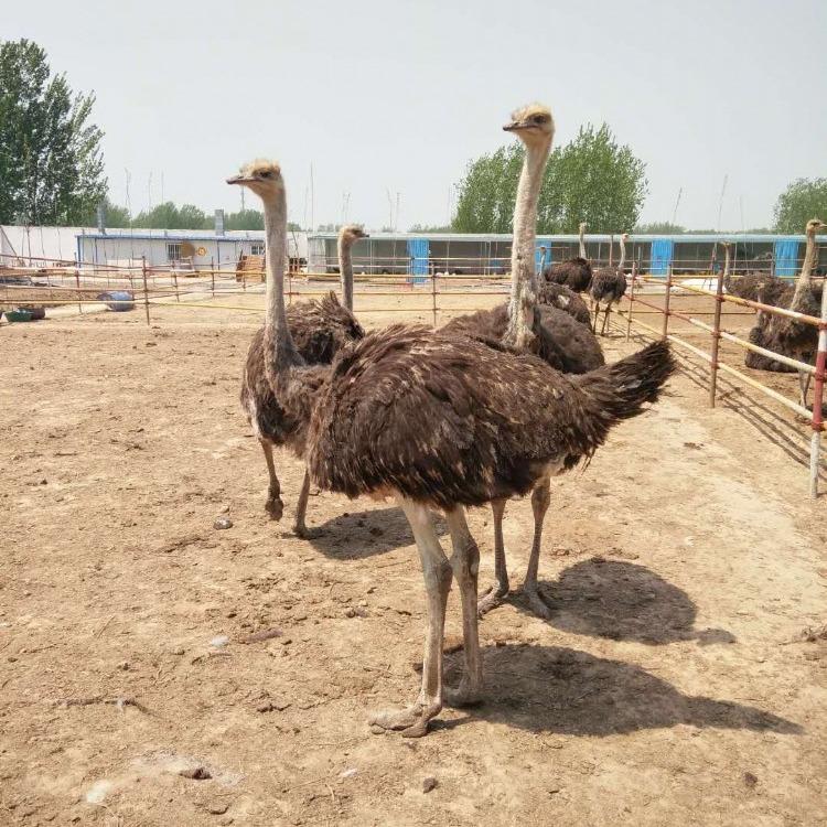 澳洲鸵鸟养殖基地  隆泰 抗病力强 非洲鸵鸟苗澳洲鸵鸟 非洲鸵鸟孵化厂直销