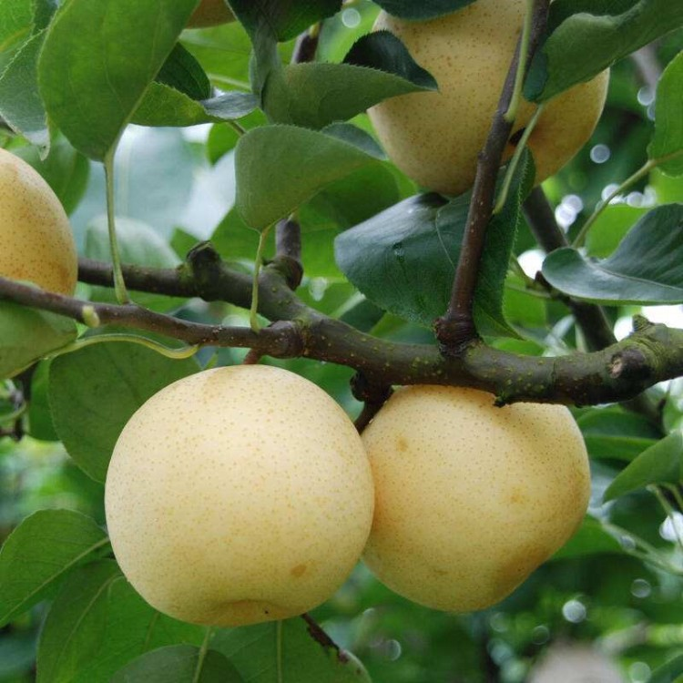 全红梨树苗常年供应批量供应全红梨树苗当年结果规格齐全全红梨树苗