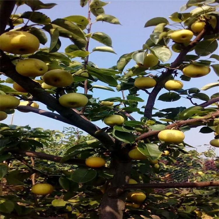 苏翠一号梨树苗品种多质量好价格优苏翠一号梨树苗根系发达易成活苏翠一号梨树苗