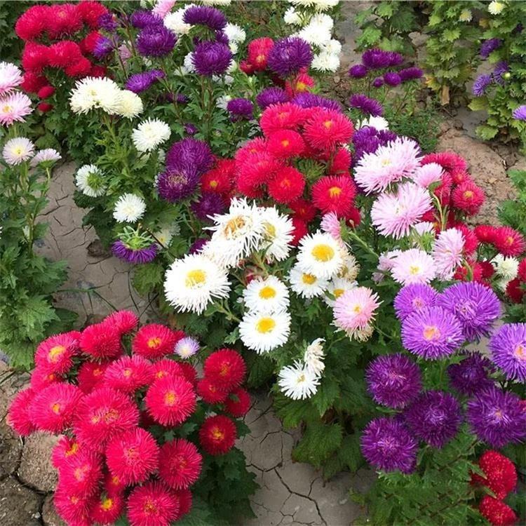 今年新�� 翠菊种子 混色一年生 翠菊种子 发芽率高 景逸种业