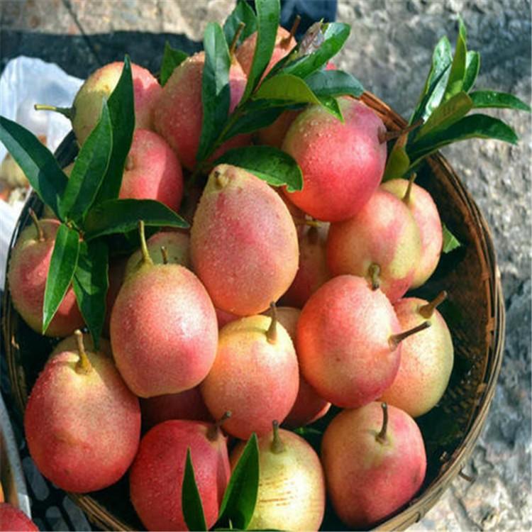 梨树苗大棚种植一亩大棚种植基地苗圃基地梨树苗