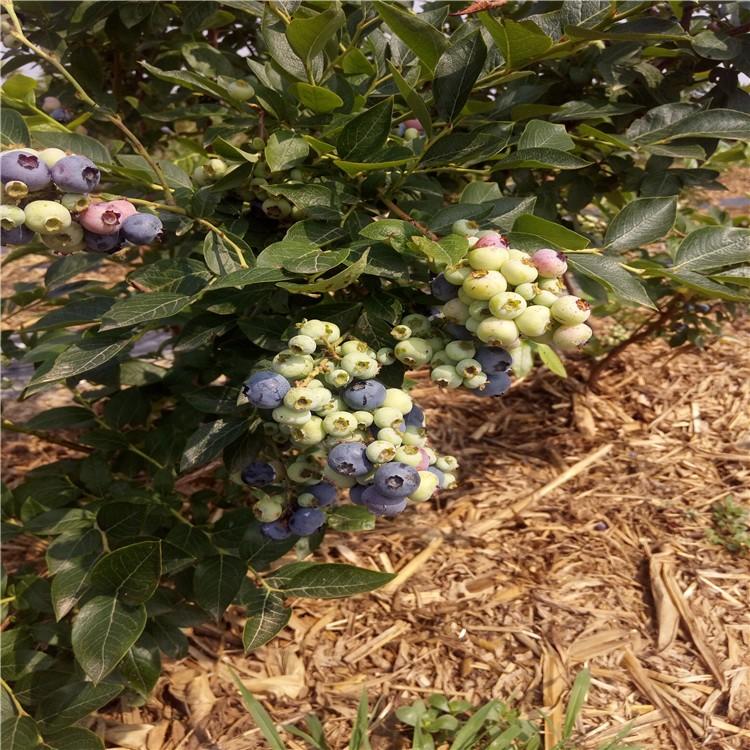 万青苗圃蓝莓苗蓝莓苗新品种基地直销量大质优蓝莓苗