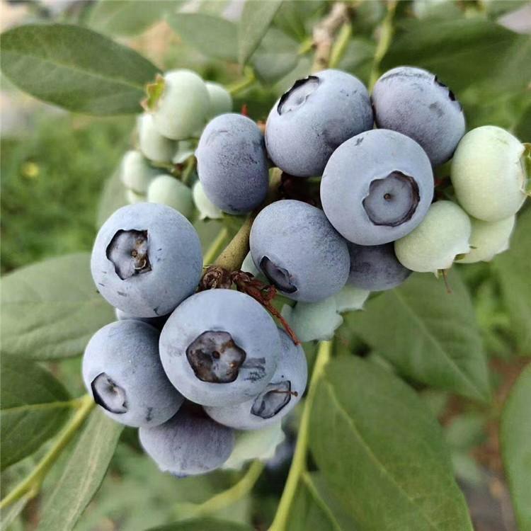 优质蓝莓苗发芽率高全国热销优质蓝莓苗货真价实现货供应配送优质蓝莓苗